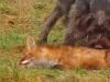 erster Fuchskontakt